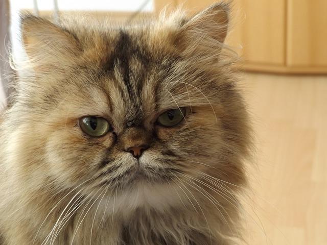 Persian Cat, Cat, Felidae, Domestic Cat, Breed Cat