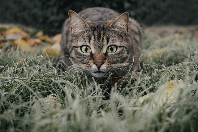 Cat, Tabby, Field, Pet, Portrait, Animal, Domestic Cat