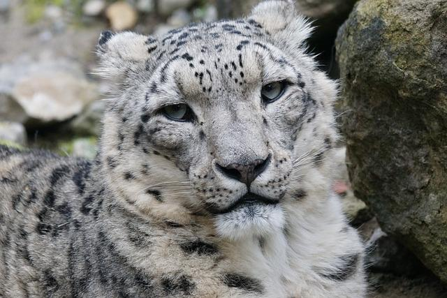 Snow Leopard, Male, Cat, Mammal, Dormant