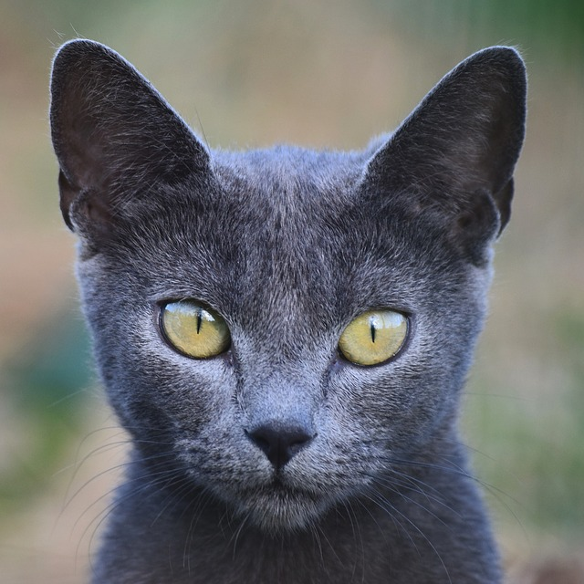 Cat, Animal, Cute, Mammal, Kitten, Grey, Young, Eye