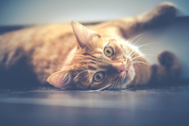 Cat, Pet, Cat Eyes, Lying, Red, Animal, Cute, Cute Cat