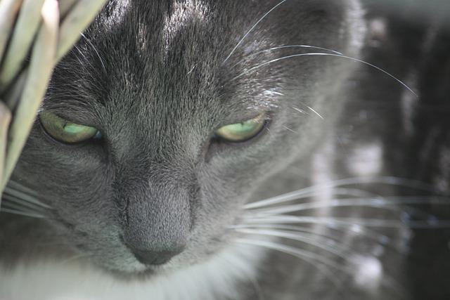 Cat, Grey, Cat Face, Eyes, Close