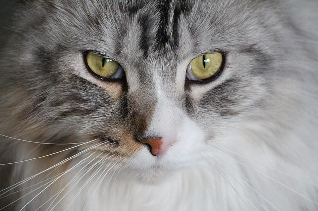 Cat, Main Coon, Maine Coon Cat, Maine Coon, Cat Face