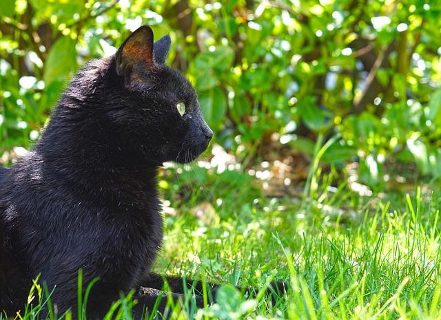 Cat, Black Cat, Feline, Animal, Black, Cat Eyes