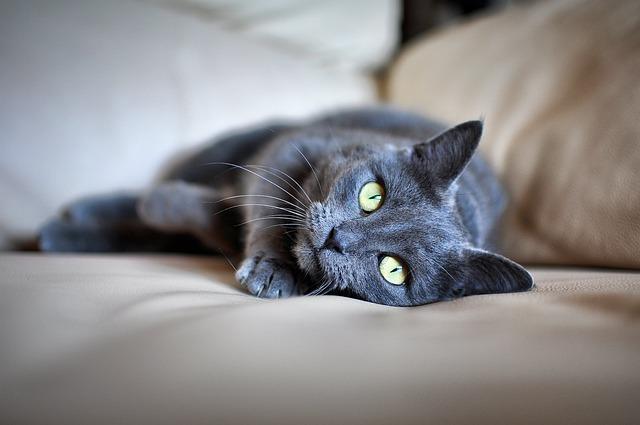 Cat, Pet, Grey Fur, Green Eyes, Lying