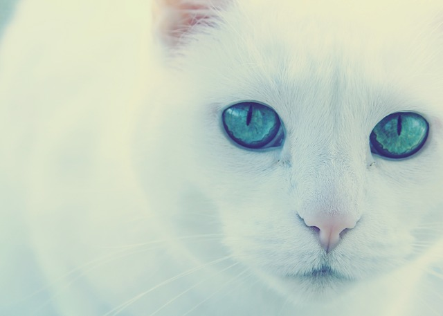 Cat, Green Eyes, White Cat