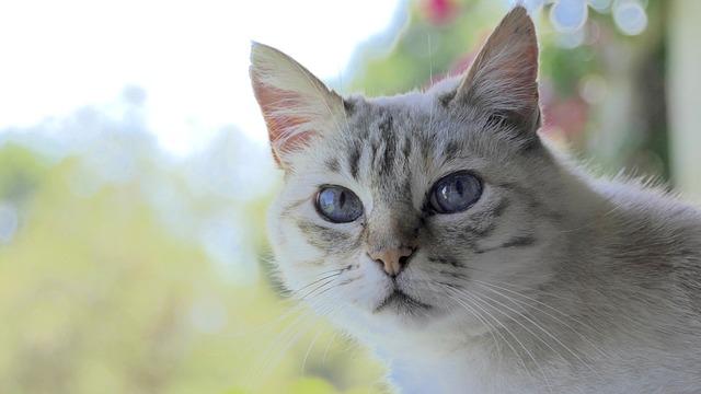 Cat, Head, Cute, White Grey, Blue Eyes, Animal, Pet