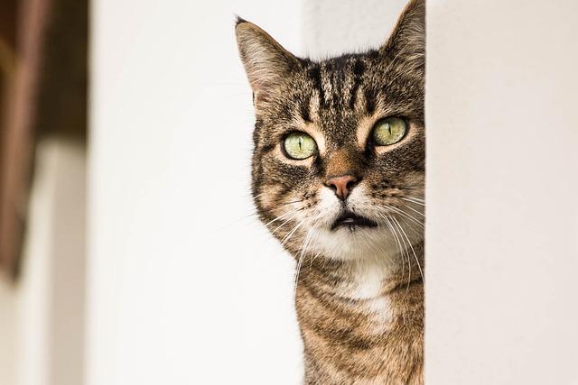 Cat, Animal, Cat Head, Cat Eyes, Alley Cat, Feline
