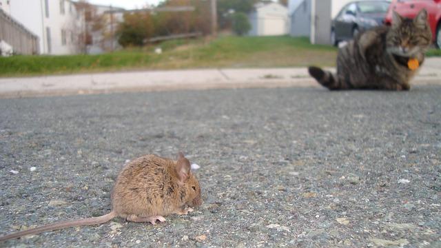 Baby Rat, Cat, Hunting, Prey