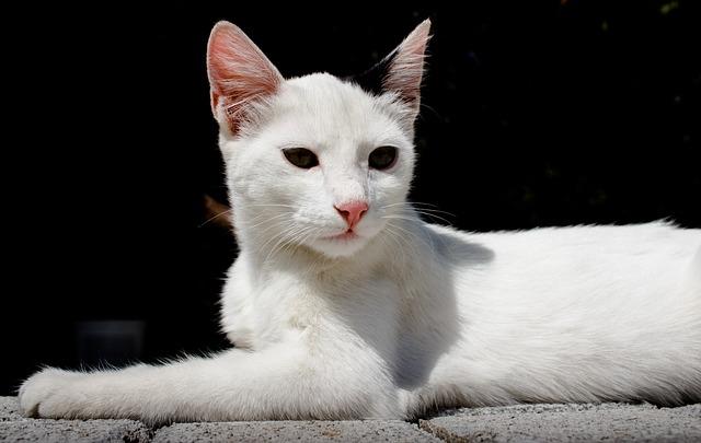 Cute, Cat, Animal, Pet, Portrait, White, Kitten