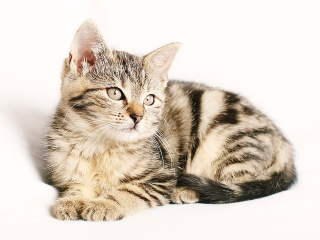 Cat, Pet, Striped, Kitten, Young, White Background