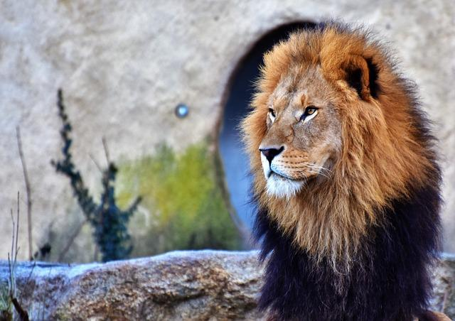 Lion, Big Cat, Predator, Lion's Mane, Mane, Cat, Wild