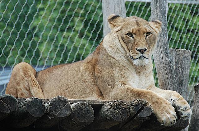 Lion, Enclosure, Lying, Cat, Wildlife Photography