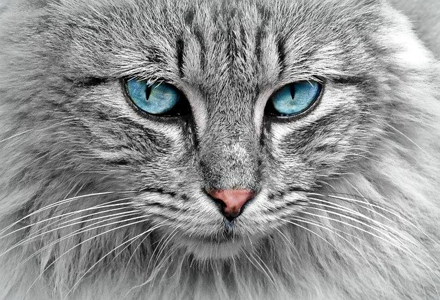 Cat, Animal, Cat Portrait, Mackerel, Cat's Eyes, Pet