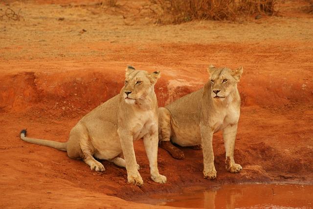 Lion, Mammal, Cat