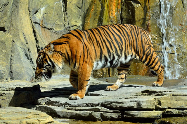 Cat, Wildlife, Nature, Tiger, Mammal, Animal, Wild