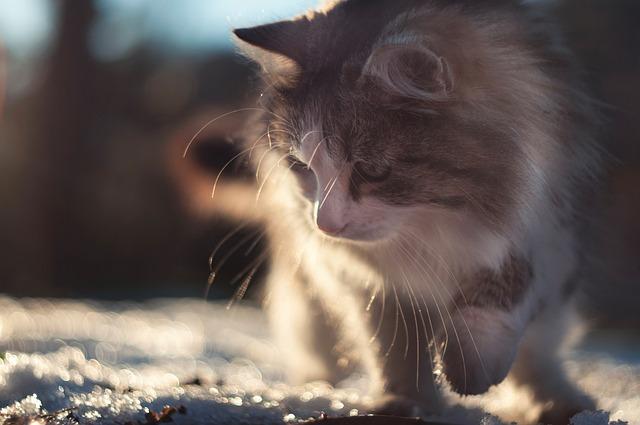 Cat, Tomcat, Animal, Brushy, Winter, Snow, Outdoors