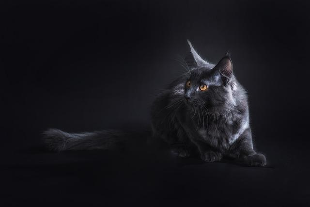 Cat, Black, Pet, Crampon, Maine Coon