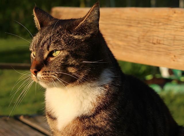 Cat, Animal, Pet, Domestic Cat