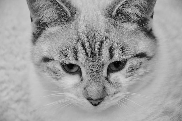 Cat, Young Cat, Photo Black White, Domestic Animal