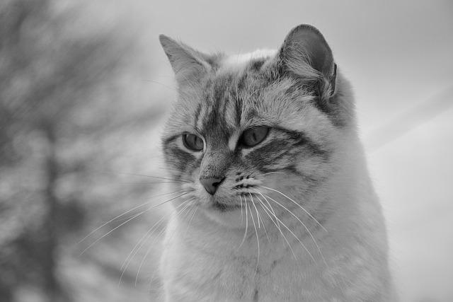 Cat, Pussy Nala, Photo Black White, Feline
