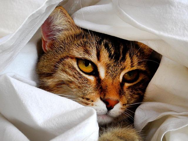 Cat, Head, Cat Portrait, Pet, Eyes, Cat's Eyes