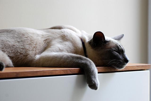 Cat, Pets, Siamese, Kitten, Rest, Sleep, Recovery
