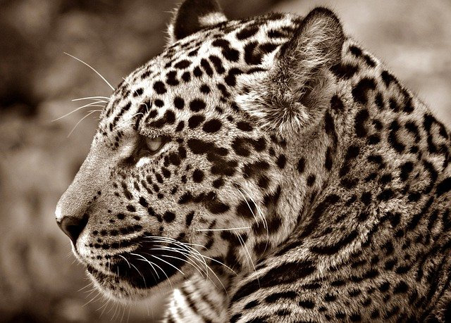 Jaguar, Halbwüchsig, Sepia, Profile, Cat, Head