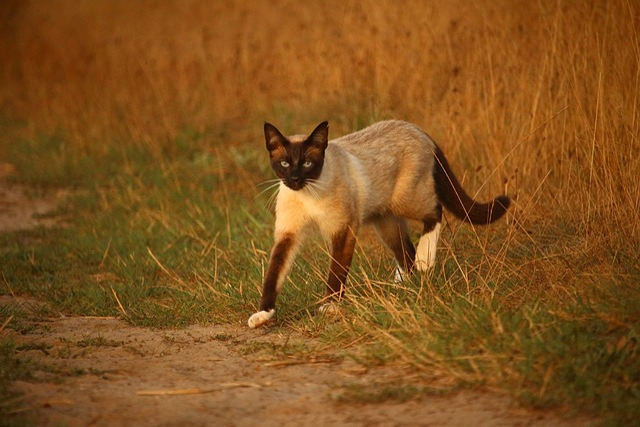 Cat, Mieze, Kitten, Siamese Cat, Siamese, Siam, Away