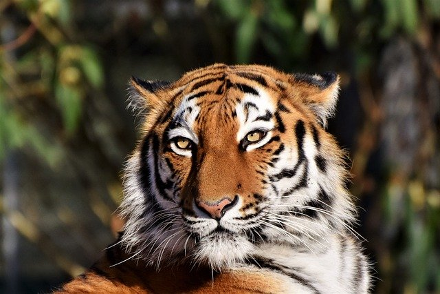 Tiger, Siberian Tiger, Tiger Head, Cat, Predator