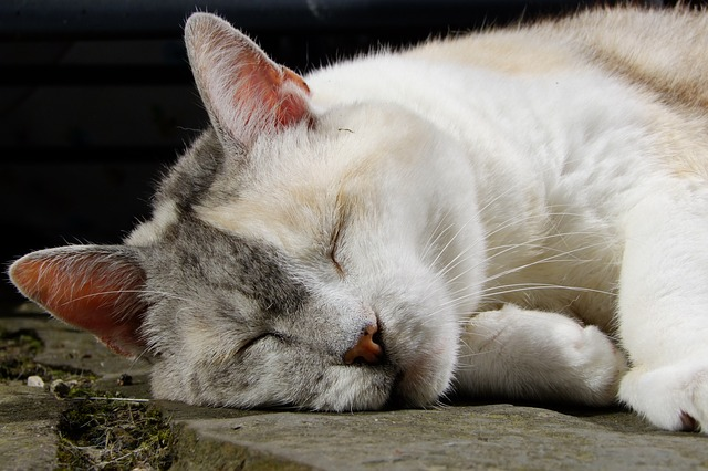 Cat, Three Coloured, Pet, Cat Face, Relaxed, Lucky Cat
