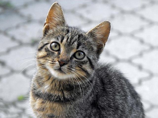 Cat, Tomcat, Animal, Portrait