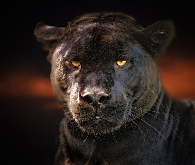 Black Panther, Jaguar, Black, Wildlife, Cat, Eyes