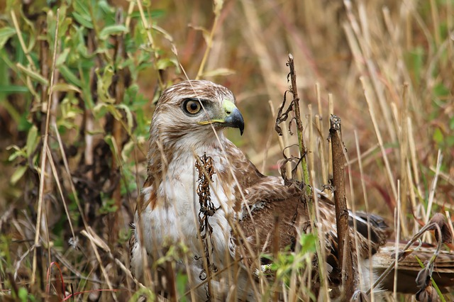 Red-tailed Hawk, Bird, Predator, Catching, Mouse