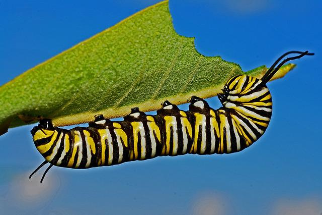 Caterpillar, Monarch, Macro, Metamorphosis, Nature