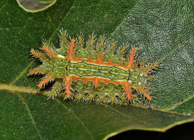 Caterpillar, Slug Caterpillar