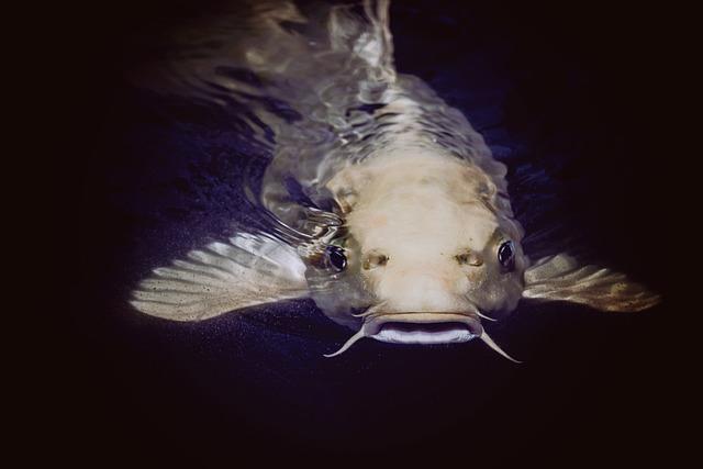 Animal, Catfish, Fish, Pond, Swimming, Underwater