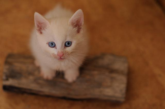 Catnip, White Cat, Blue Eyes, Food-dirty, Portrait