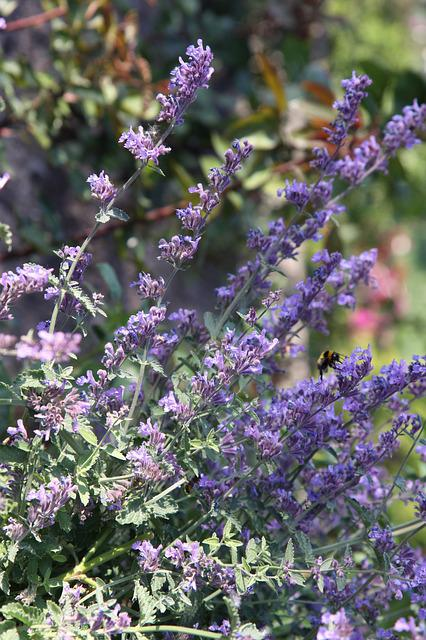 Catnip, Hummel, Flower, Blossom, Bloom, Purple