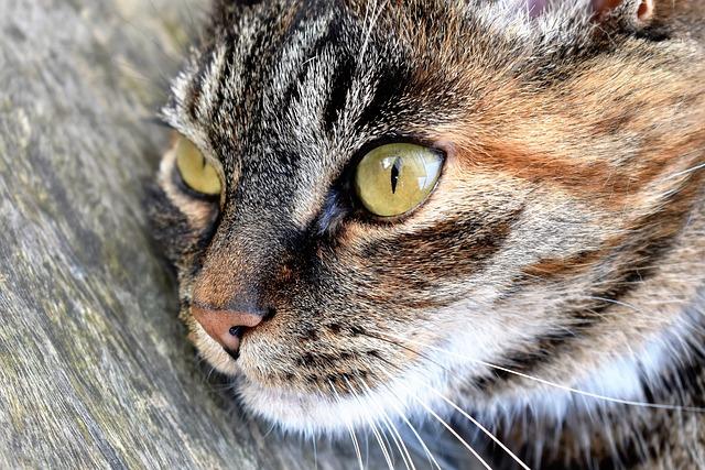 Cat, Animal, Pet, Cat's Eyes, Mackerel, Portrait