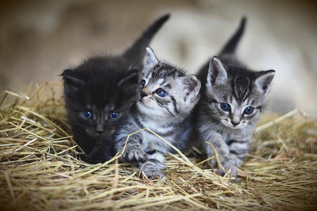 Kittens, Pet, Felines, Cats, Animals, Fur, Kitty
