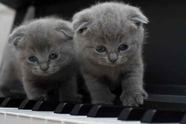 Cat, Cats, Kitty, Piano