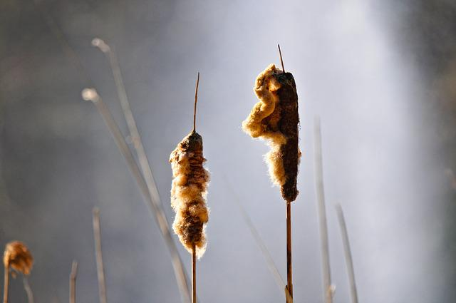 Common Bulrush, Bulrush, Typha Latifolia, Cattail