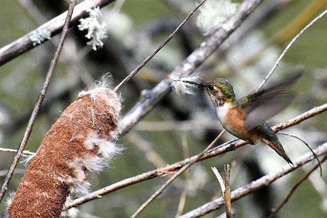 Hummingbird, Nesting Material, Collect, Cattail, Bird