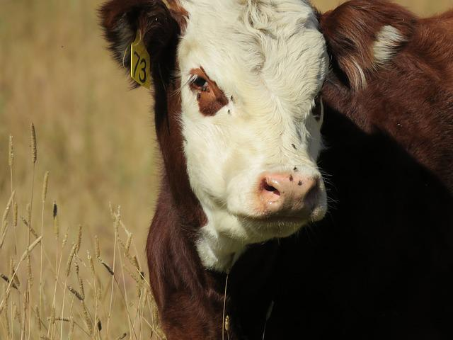 Cow, Calf, Cattle, Animal, Baby, Brown, Field, Meadow