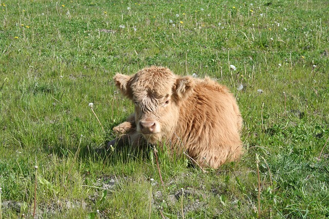 Calf, Cattle, Scottish Highland Cattle, Highland Cattle