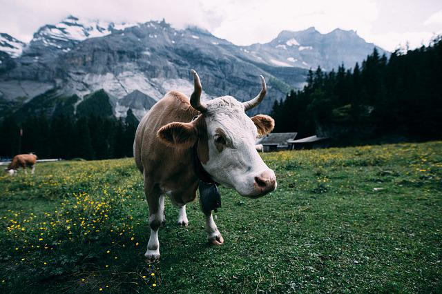 Agriculture, Animal, Cattle, Close-up, Countryside, Cow