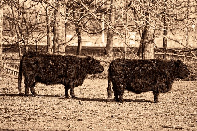 Cow, Animal, Mammal, Livestock, Cattle, Domestic