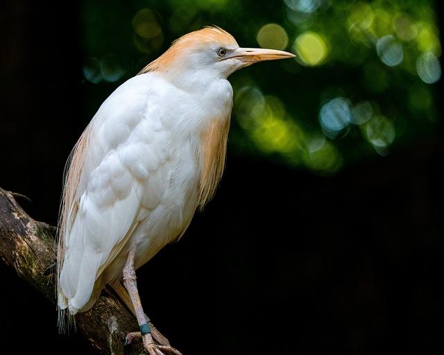 Bird, Heron, Cattle Egret, Feather, Animal