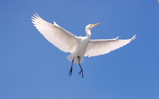 Cattle Egret, Bird, Sky, Clouds, Flying, Flight, Wings